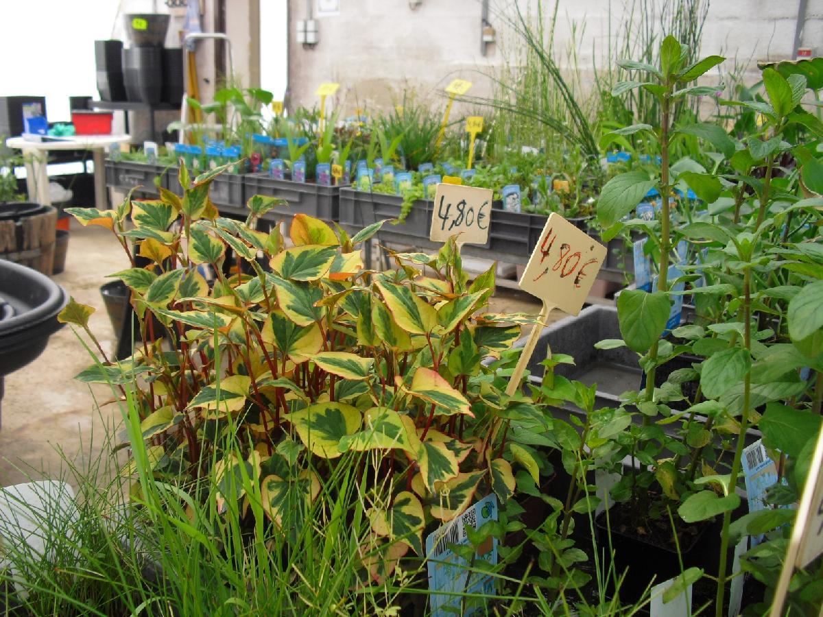 Vente de plantes aquatiques et de marais d 39 avril septembre for Vente de plantes
