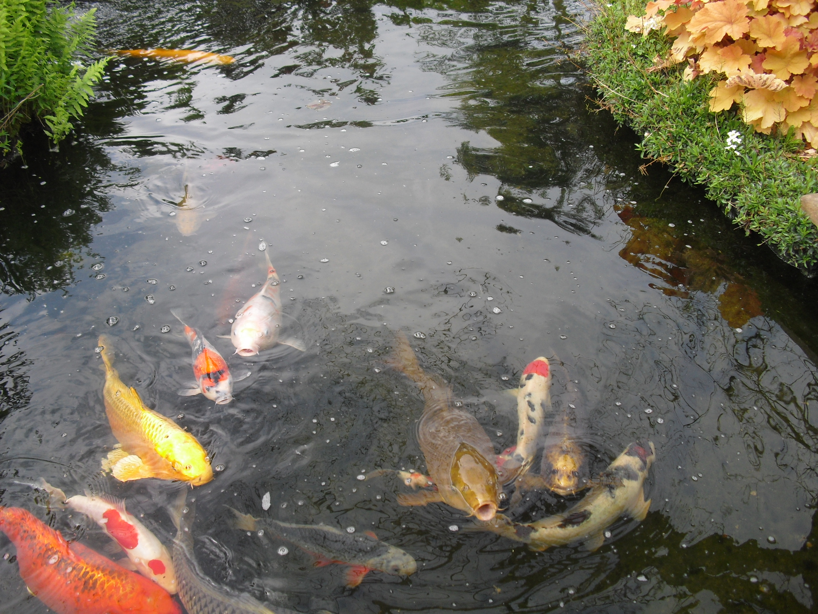 Vari t s de poisson de bassin de jardin ko du japon for Vente de poisson rouge grenoble