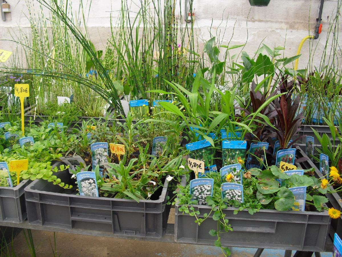 plante aquatique vente en ligne