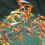 Variétés de poissons de bassin