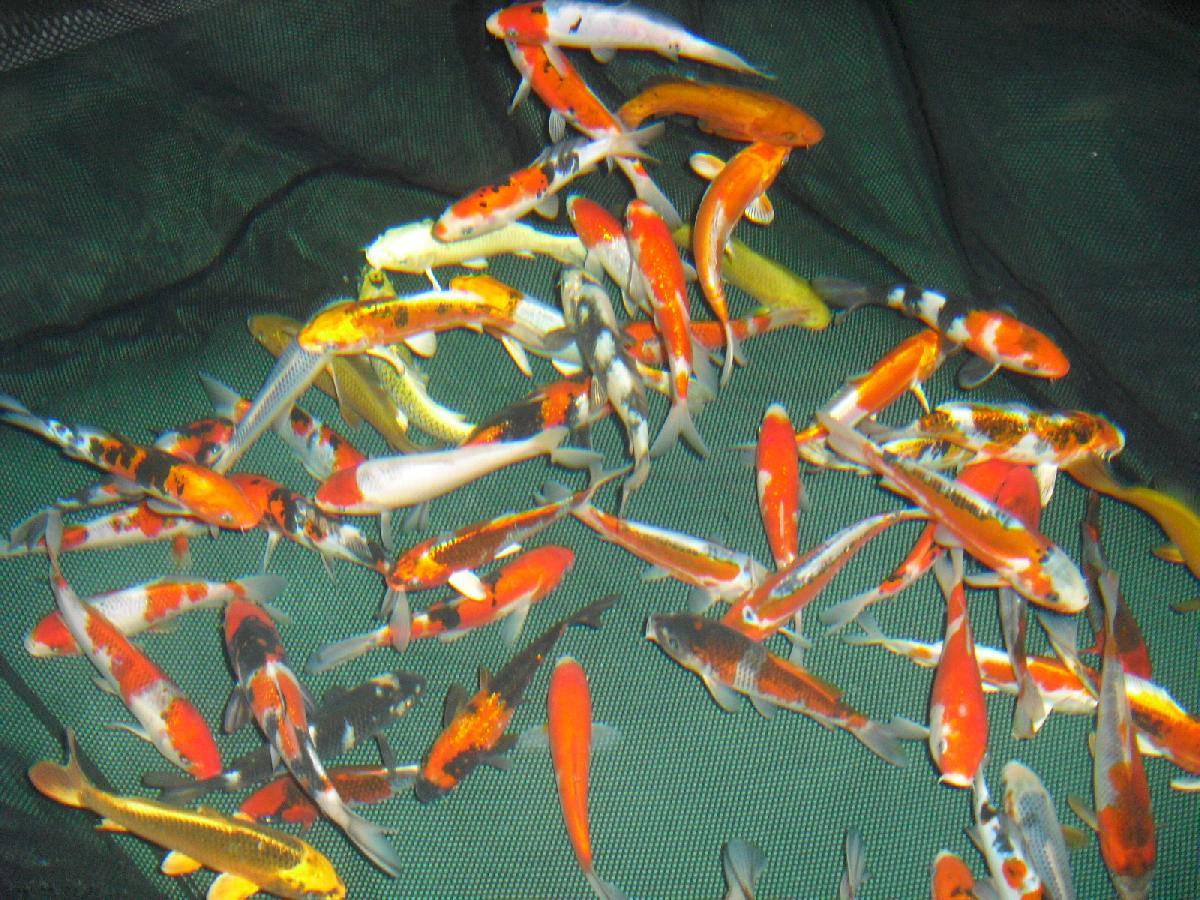 Bassin A Poisson Rouge variétés de poisson de bassin de jardin, koï du japon