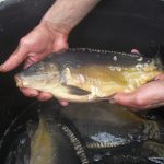 variétés de poissons d'étang