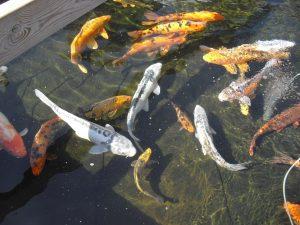 variétés de poisson de bassin