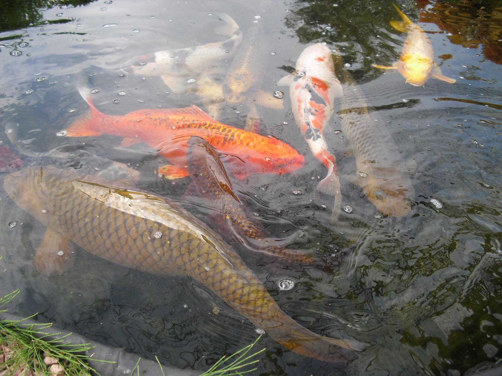 Poisson Rouge Bassin Extérieur variétés de poisson de bassin de jardin, koï du japon