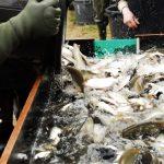 poissons d'étang